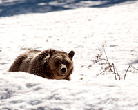 Grizzly Bear behind snow ridge