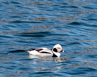 Long-tailed Duck in breeding plumage