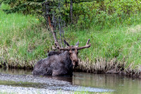 Moose taking a dunk in Soda Butte Creek