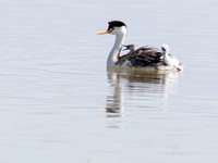 Mom, go right - no left. Clark's Grebe with chicks