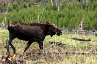 Bull moose in the Petrified Tree area