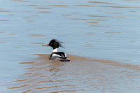 Red-breasted Merganser in breeding plumage