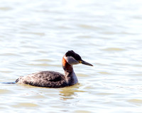 Red-necked Grebe in breeding plumage