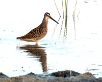 Short-billed Dowitcher seen in Maumee Bay State Park on the Ohio edge of Lake Erie