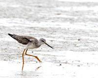 Lesser Yellowlegs Sandpiper