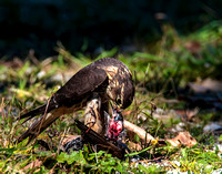 Merlin eating a European Starling