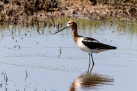 American Avocet looking for dinner
