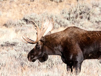 Bull moose - Yellowstone National Park