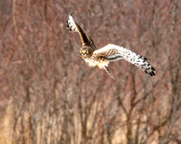 Northern Harrier female hunting in the meadows of Ottawa National Wildlife Refuge