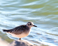 Black-bellied Plover - nonmating plumage