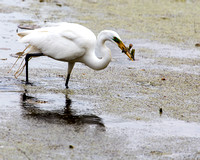 Great Egret with dinner
